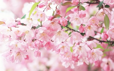 Cherry-blossom-petals-pink-spring_1440x900